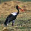 Royalty-Free Stock Photo: Saddlebilled Stork