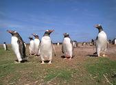 Gentoo penguins — Stock Photo