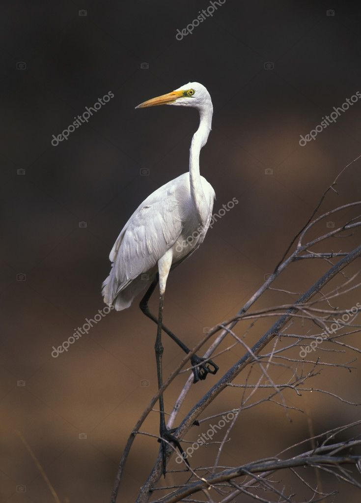 Great white egret on the tree branch — Stock Photo #2652196