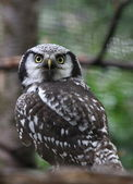 Forrest owl — Stock Photo