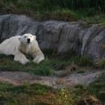 Льда медведя — Стоковое фото