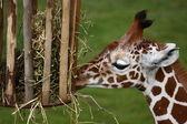 Young giraffe — Stok fotoğraf