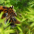 Sumatran Tiger - Stock Photo