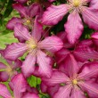 Closeup pink clematis in garden — Stock Photo #2611962