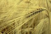 Wheat ear closeup — Stock Photo