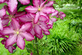 Pink clematis in garden — Stock Photo
