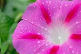 Morning star flower closeup — Stock Photo