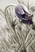 Couple flowers pulsatilla pratensis — Stock Photo