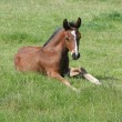 Thoroughbred Foal — Stock Photo