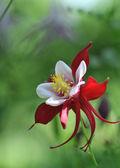 Grande plano de flor vermelha — Fotografia Stock