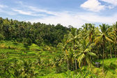Balinese rice fields — Stock Photo