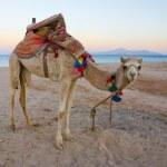 Camel on the beach — Stock Photo