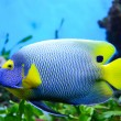 Angelfish (Pomacanthus xanthometapon) - Stock Photo