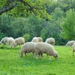 Flock of sheep — Stock Photo #2649381