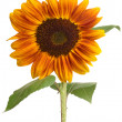 Single beautiful sunflower — Stock Photo