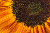 Closeup orange sunflower — Stock Photo