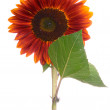 Single sunflower - Stock Photo