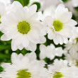 White chrysanthemum flowers — Stock Photo #2658893
