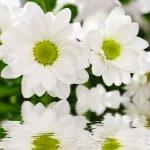 White chrysanthemum flowers — Stock Photo #2658893