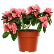 Stock Photo: Azalea