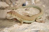Lizard and rock — Stock Photo