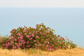 Pink bush — Stock Photo