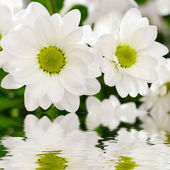 White chrysanthemum flowers — Stock Photo