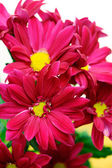 Red chrysanthemum flowers — Stock Photo