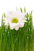 Daisy in grass — Stock Photo