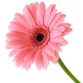 Pink gerber — Stock Photo