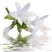 Lily with reflection — Stock Photo