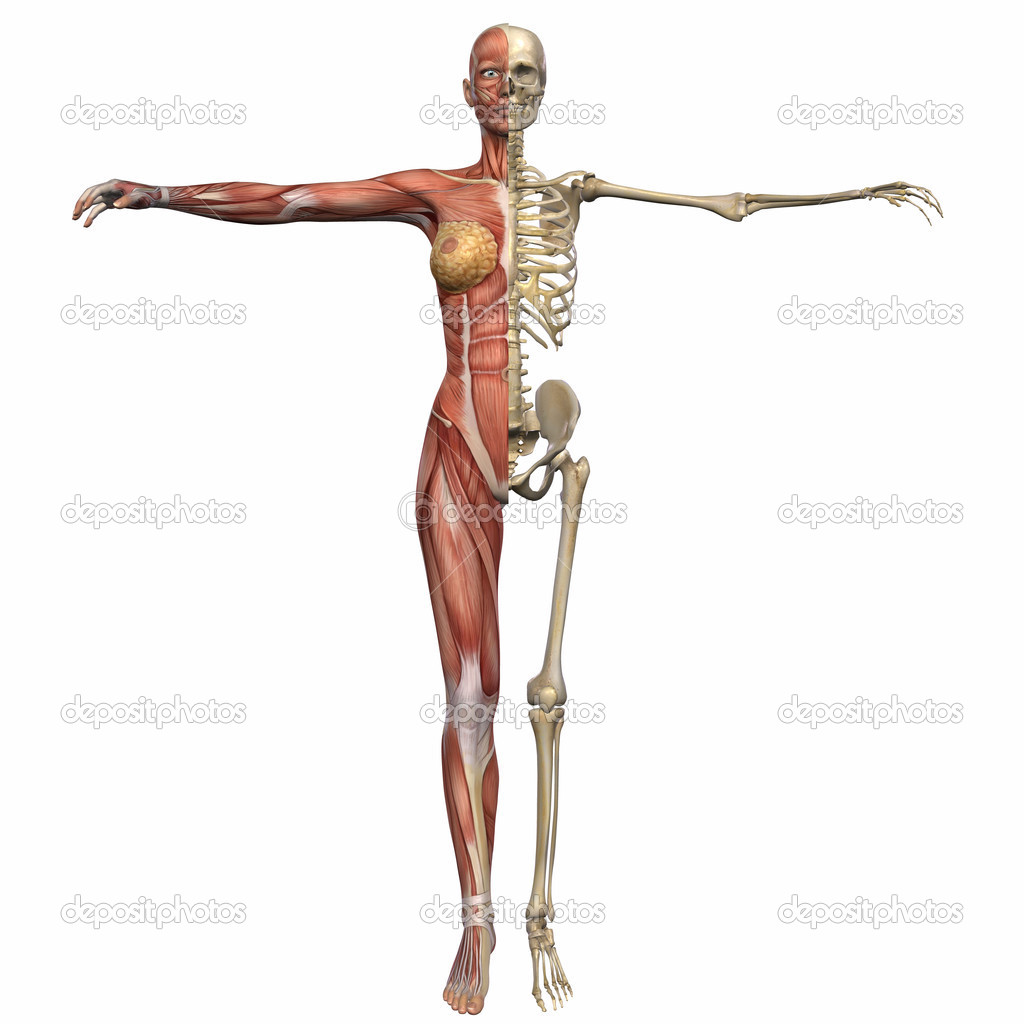 3D Render of an Female Anatomy Body — Stock Photo #2650798