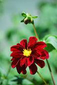 Red Dahlia Closeup — Stock Photo