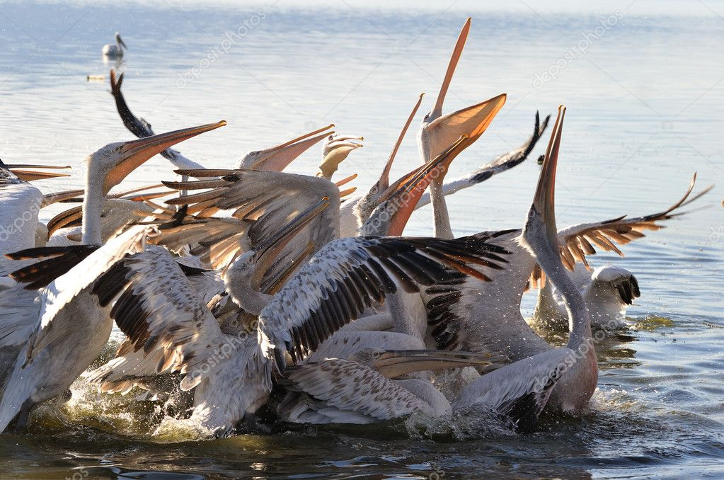Feeding of pelicans — Stock Photo #2640479
