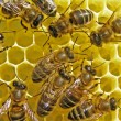 Stock Photo: Bees build honeycombs.