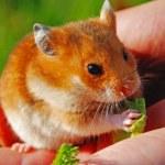 Hamster — Stock Photo #2642625