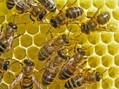 Bees build honeycombs. — Stock Photo