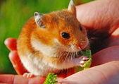 Hamster — Stok fotoğraf