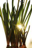 Sonne scheint durch pflanze — Stock Photo