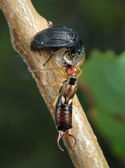 Carrion beetle and earwig