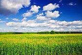 Táj - kukorica a területen