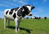 A legelő a fiatal szarvas tehén