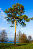 Lone pine tree near the lake, autumn