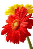 červená a žlutá květina na bílé backgro