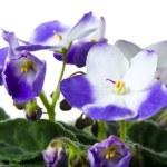 Постер, плакат: African violet Saintpaulia
