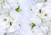 Krásné bílé jasmínovými květy