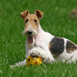 ������, ������: Wired Fox Terrier and a ball