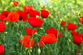 Red poppies and yellow flowers