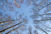 Sky through birches