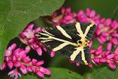Tiger moth (Callimorpha hera)
